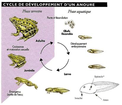 Cycle de développement d'un anoure