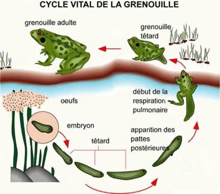 Le cycle vital de la grenouille